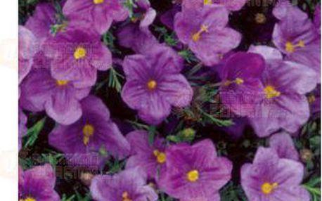 Nierembergia - 20 semen a poštovné ZDARMA s dodáním do 3 dnů! - 9999918641