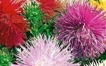 Astra čínská jehlicovitá - směs 100 semínek a poštovné ZDARMA s dodáním do 3 dnů! - 9999915323
