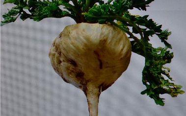 Maca peruánská - 20 semínek a poštovné ZDARMA s dodáním do 3 dnů! - 9999915318
