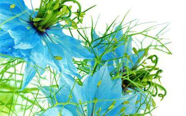 Černucha damašská barevná - 10 semínek