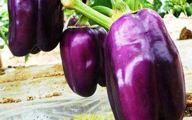 Semínka sladké fialové papriky