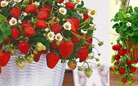 200 semínek převislých jahod Giga: Pěstujte jahody, je to snadné! Doprava zdarma.