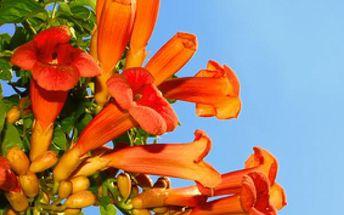Ekremokarpus - popínavá rostlina - balení 30 semen