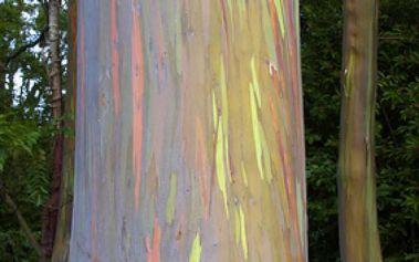 2 semínka blahovičníku oloupaného - Duhový strom