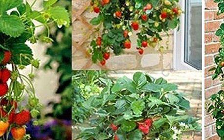 Převislé hrnkové jahody Giga balení 200 ks semínek. Velké, sladké jahody a doprava zdarma!!