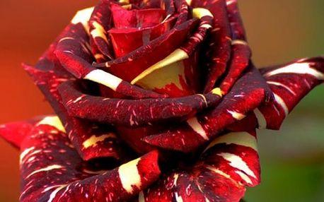 50 semínek žíhané růže