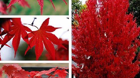 Semínka červeného javoru - 20 kusů