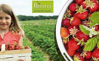Samosběr jahod v Ovocných sadech Bříství u Kolína