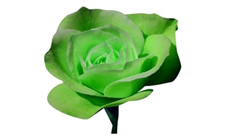 20 semínek zelené růže