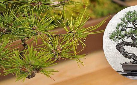 Japonská PINE TREE Bonsai - samienko pro pěstování