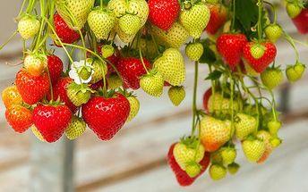 200 ks semínek převislých hrnkových jahod Giga vhodných do květináče i záhonu