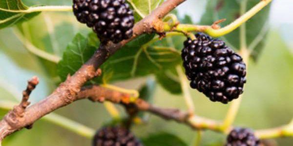 10 semínek morušovníku černého