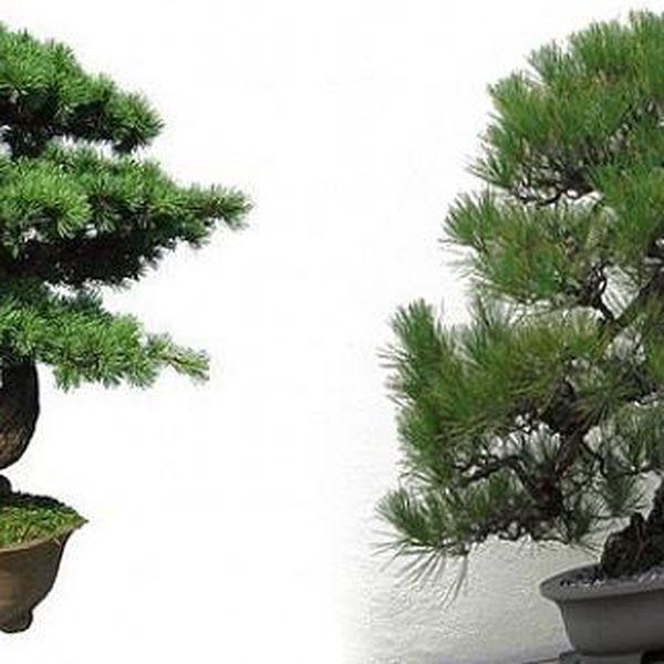 Japonská PINE TREE Bonsai - semínko pro pěstování, oblíbená jako bonsai, taktéž často bývá ozdobou japonských zahrad!