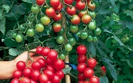 Cherry rajčátka - balení 30 semínek