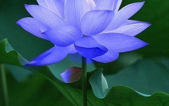 10 semínek safírového lotosu