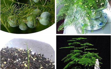 Okrasný asparágus - 6 semen