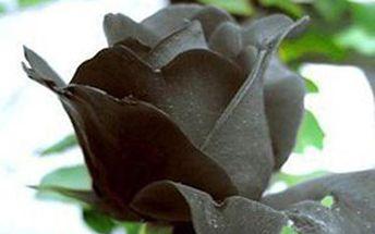 20 semínek černé růže