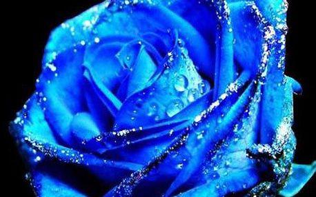Modrá růže - 50 semínek