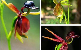 20 semínek orchideje ve tvaru letící kachny