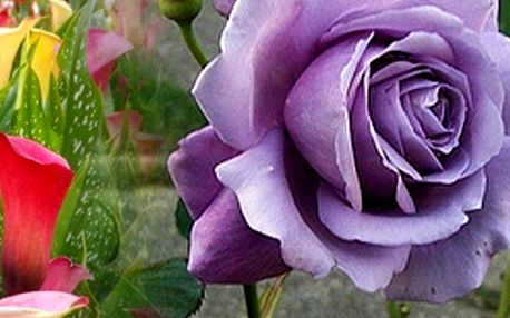 200 ks semínek fialových růží, 100 ks nádherně barevné kaly nebo 200 ks popínavých Hokowase jahod.