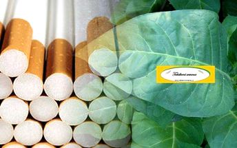 Komplet 5 druhů tabákových semen: vypěstujte si doma vlastní tabák! V balení najdete 5 druhů těch nejlepších odrůd tabákových semen. Pěstování je jednoduché a vhodné i do našich podmínek. Můžete pěstovat doma i na zahradě. Součástí balení je také podrobný