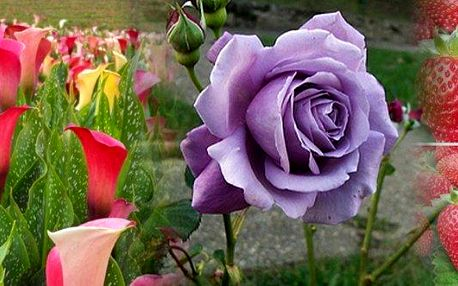 200 ks semínek fialových růží nebo 100 ks nádherně barevné kaly nebo 200 ks popínavých Hokowase jahod. Vhodné i pro zahrádkáře začátečníky, v balení přesný návod – doručení je zdarma.