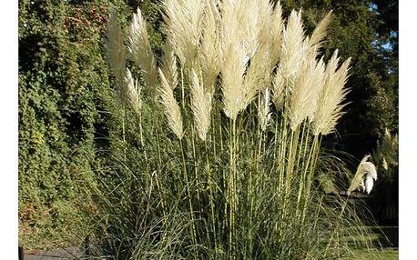 Pampová tráva - 200 semen - dodání do 2 dnů