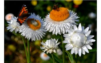 Slaměnka bílá - 100 semen - skladovka