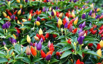 50 kusů barevných chilli papriček