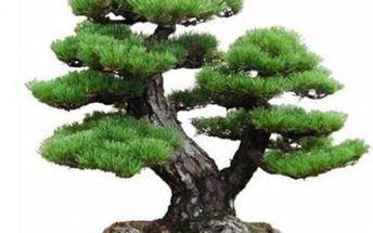 Japonská Pine Tree Bonsai 1 semínko