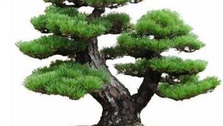 Japonská Pine Tree Bonsai 1 semínko!