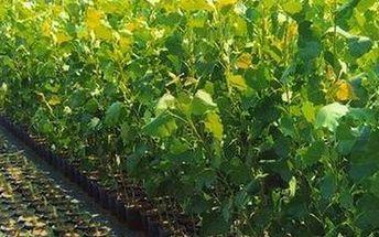 Rostoucí japonský topol. Na výběr 200 ks řízků nebo 50 ks sazenic včetně návodu na pěstování.