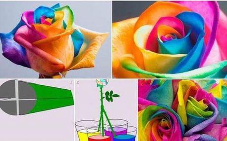 Duhová růže - 200 semínek!