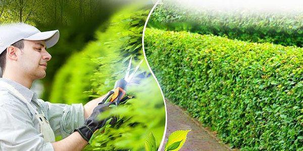Živý plot z habru! Balení po 40 ks o velikosti 40-60 cm nebo 80-120 cm s možností 0,5kg speciálního hnojiva!