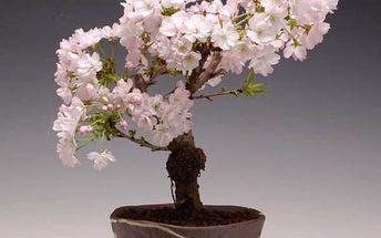 Bonsaj - japonská sakura - 10 semen