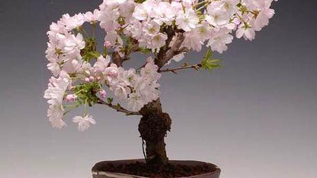 Bonsaj - japonská sakura - 10 semen - poštovné zdarma