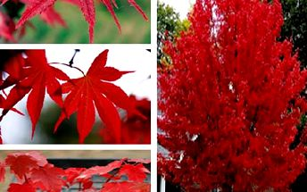 Semínka červeného javoru
