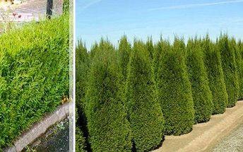 Thuja Occidentalis Smaragd nebo Brabant - 10 ks rostlin ideálních pro živé ploty.Tyto stále zelené rostliny s přírůstkem 15-30 cm za rok dorůstají až 5 metrů.Na výběr také varianta se speciálním hnojivem pro rychlejší růst.