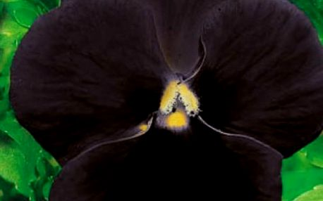 Maceška zahradní Black King - balení 50 semen - skladovka