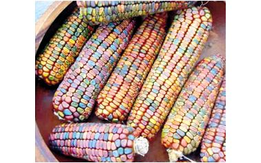 10 semínek - barevná kukuřice
