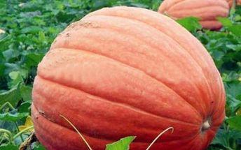 Obří dýně - semínka 5 kusů