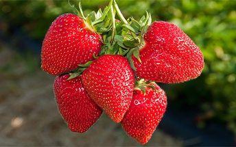 200 semen popínavých jahod druhu Hokowase na zahrádku i na balkon
