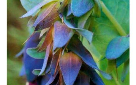 Voskovka větší - 10 semen - dodání do 2 dnů