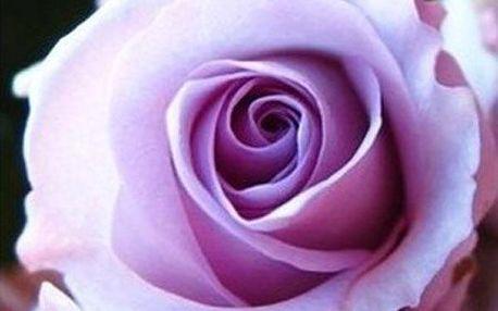 Světle fialová růže - 50 semínek