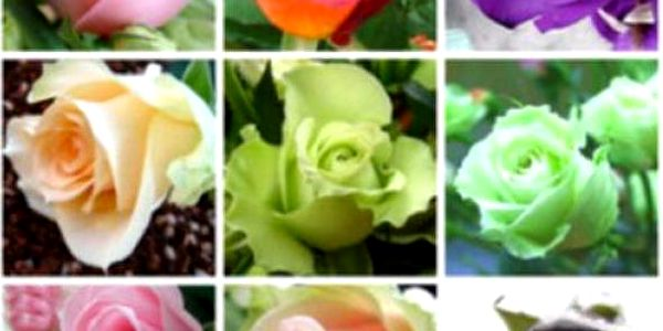 100 kusů semínek růže, mix barev
