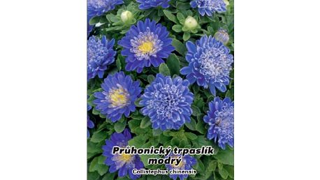 Astra čínská - Průhonický trpaslík modrý - 50 semen - dodání do 2 dnů