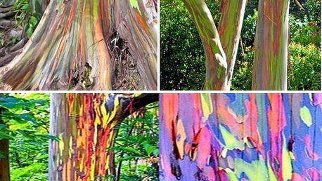 40 semen Blahovičníku oloupaného - duhový strom