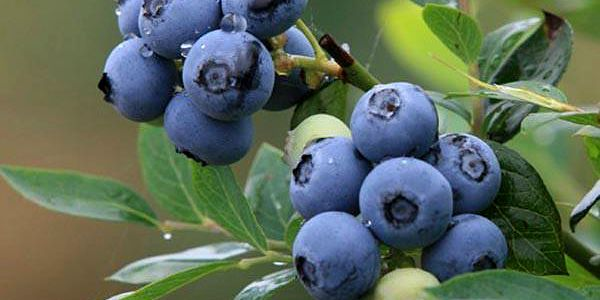 30 semínek borůvky - bonsai