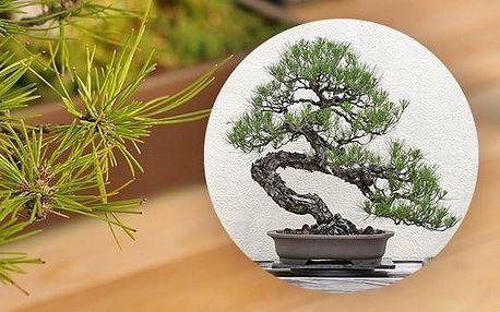 Japonská PINE TREE Bonsai - semínko pro pěstování