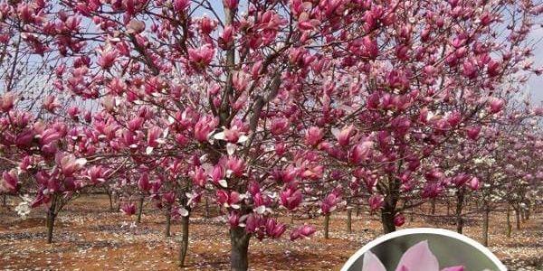 Magnolie obnažená - Nigra - 10 semen